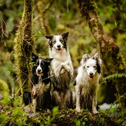 Oregon Dogs